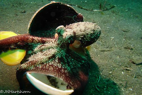 coconut octopus grasping shells