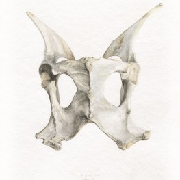 pelvis de guanaco II - Acuarela