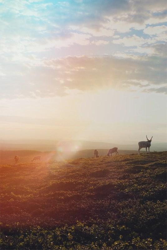 Rennes au coucher du soleil en laponie
