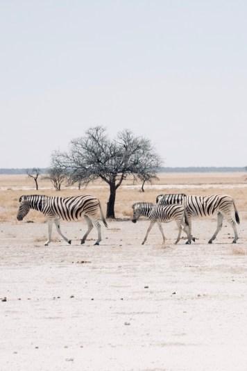 Namibie - Parc national Etosha