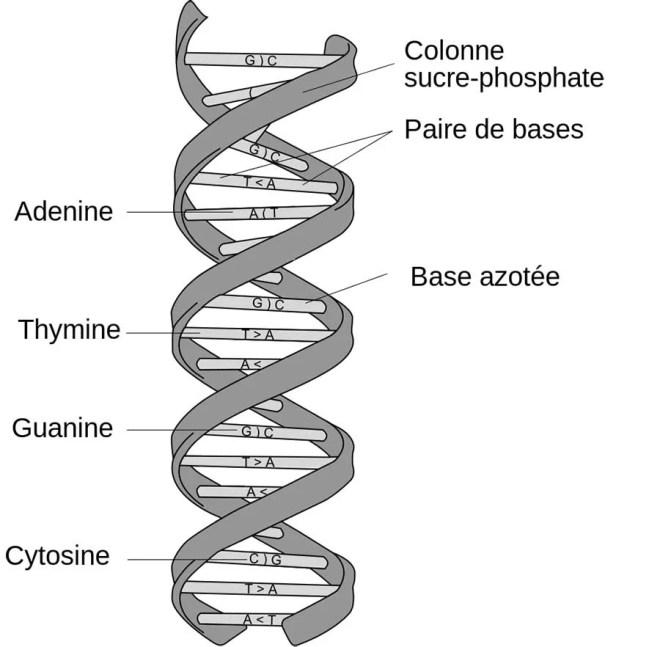 structure-ADN