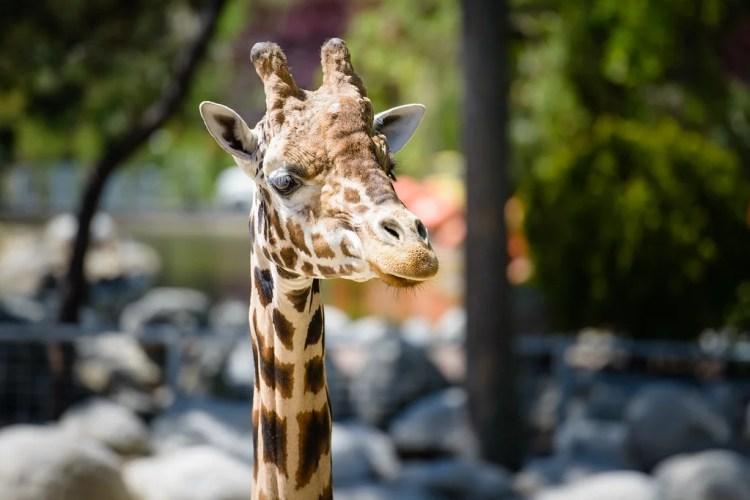 girafe photo