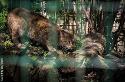 Chat sauvage au Parc de Sainte Croix - Photo Céline Schnell Une Fille En Alsace