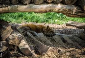 Renard roux au Parc de Sainte Croix - Photo Céline Schnell Une Fille En Alsace
