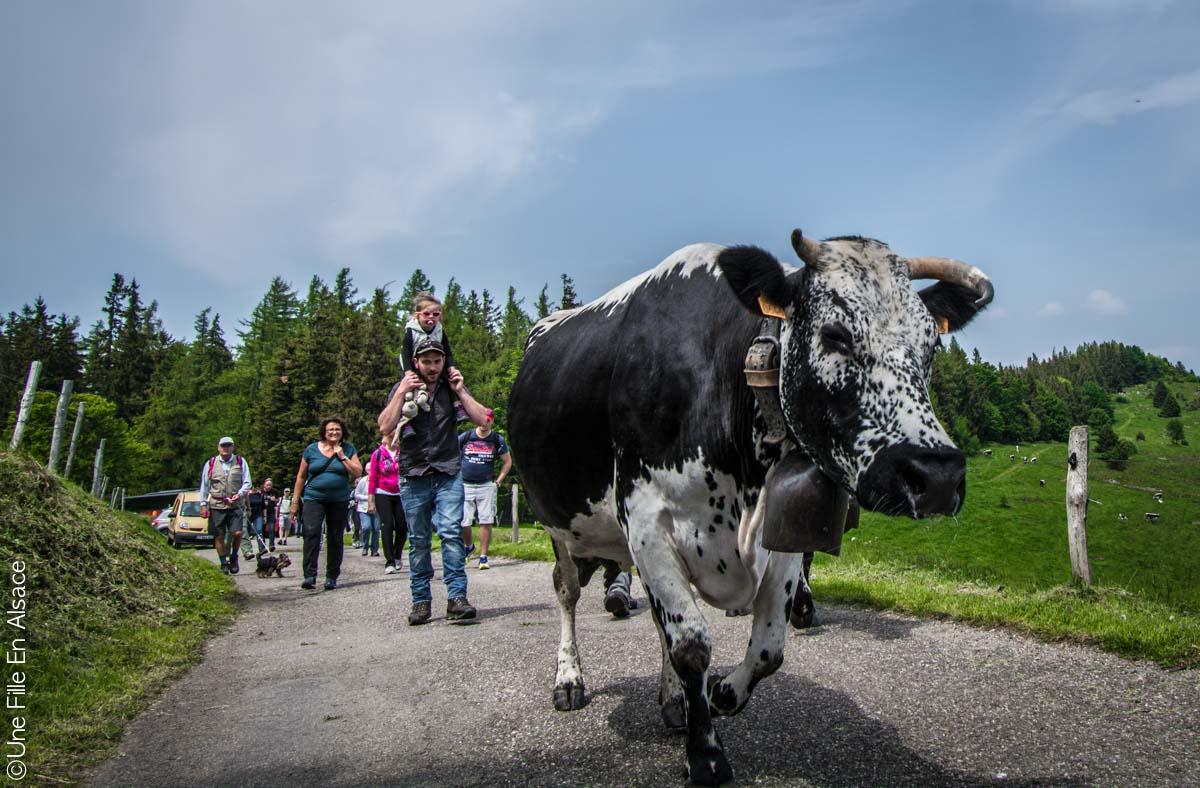 Transhumance dans la vallée de Munster - Crédit photo Céline Une Fille En Alsace