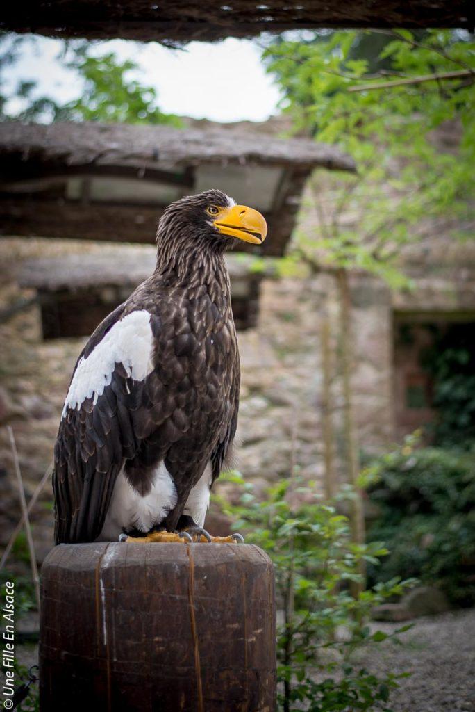 volerie-des-aigles-kintzheim©Celine-Schnell-Une-Fille-En-Alsace-2019-22