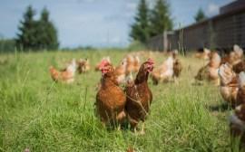 poule-ferme-primvert-Celine-Schnell-Une-Fille-En-Alsace-2021