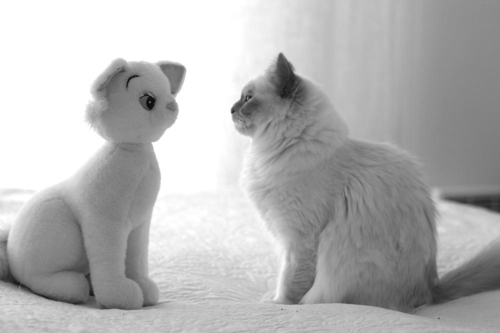 chat sacré de birmanie face à chat en peluche