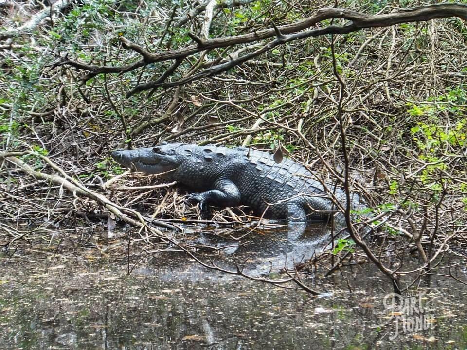 Crocodile calakmul