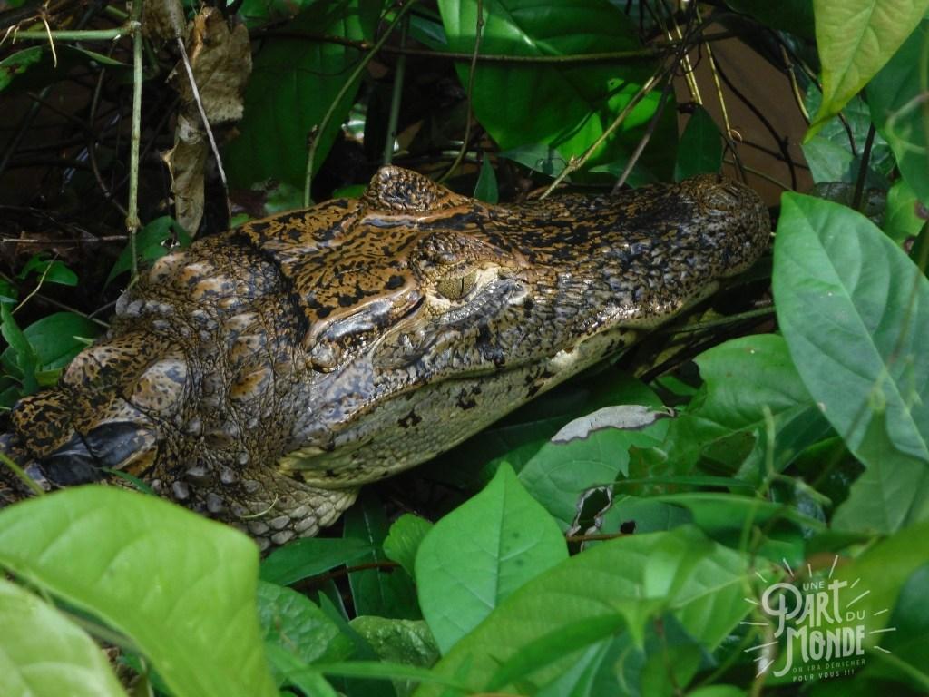 tortuguero caimans