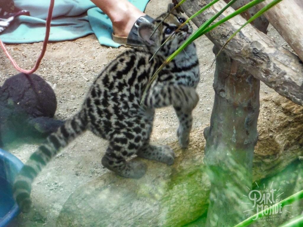 jaguar rescue center ocelot bébé