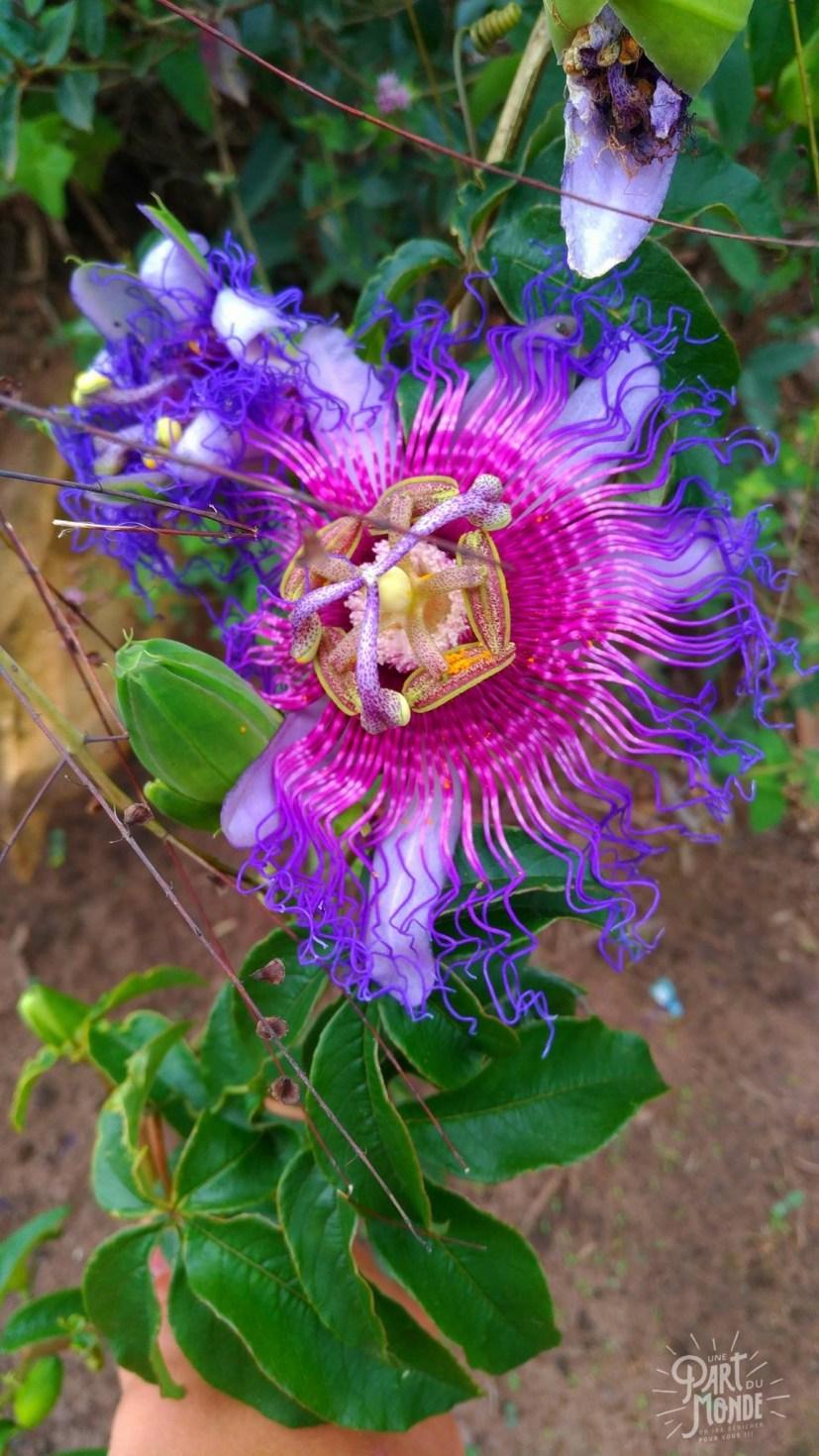 chapada diamantina fleur de fruit de la passion