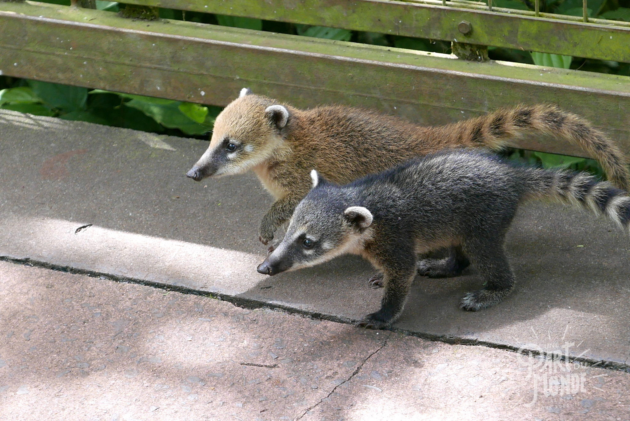 bébé coatis chutes d'iguazu côté argentin