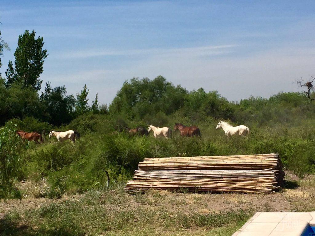 chevaux liberté volontariat à mendoza