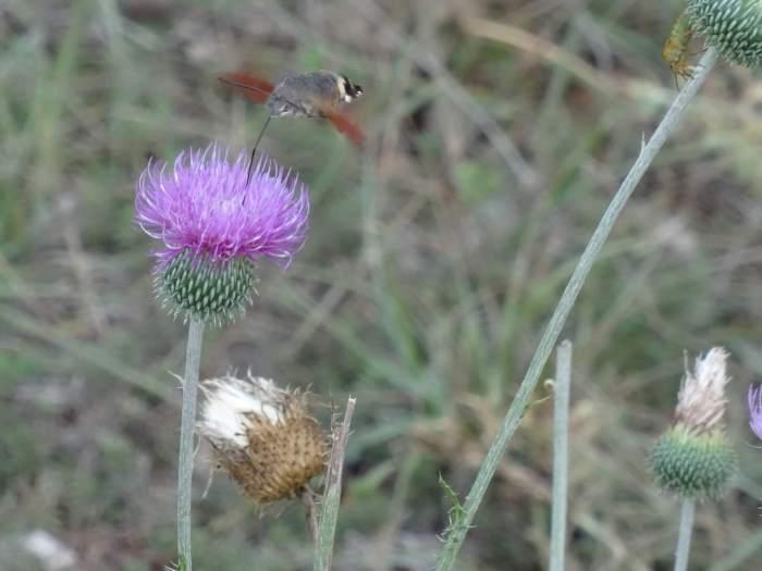Een kolibrivlinder drinkt een paarse distel leeg