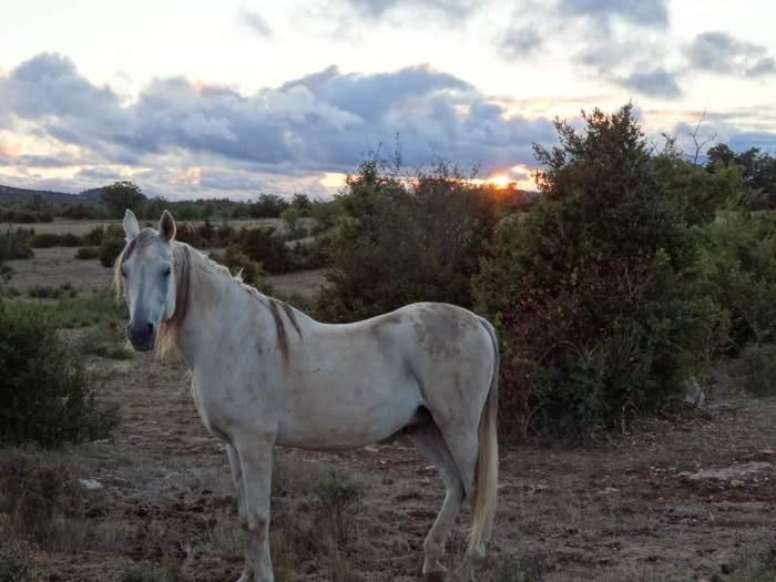 Witte merrie in de schemering van de Causses en Cevennes