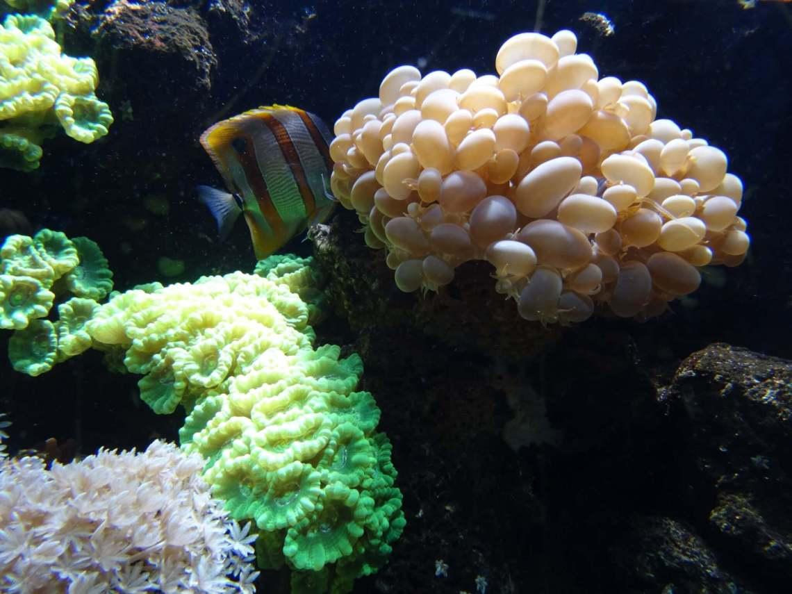 Verschillende kleuren koraal met maanvis