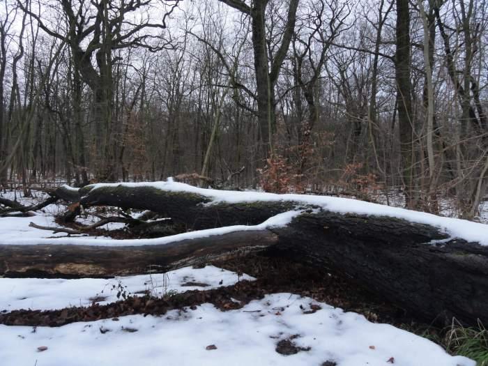 Gevallen beuk onder een laag sneeuw
