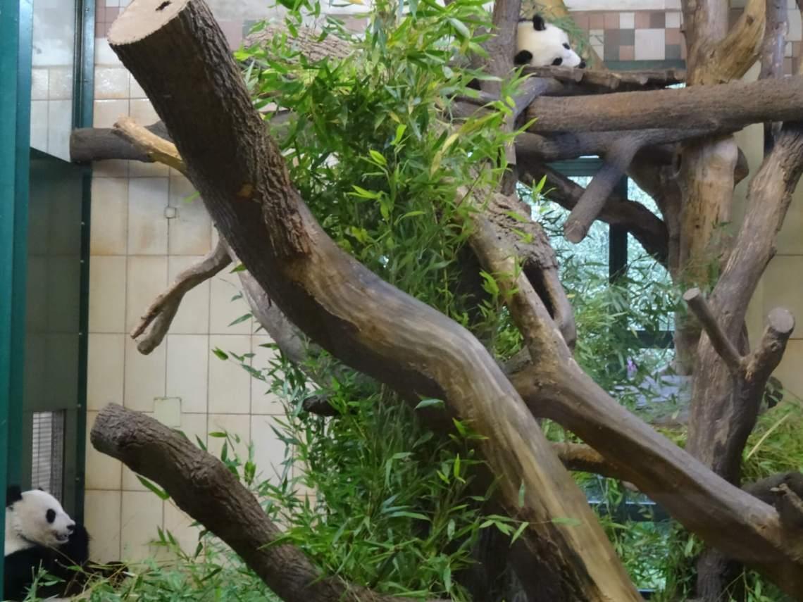 Reuzenpanda's te midden van boomtakken en bamboe