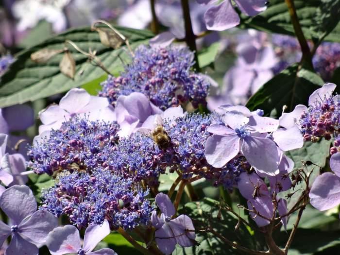 Paarse bloemen en een hommel in bergpark Wilhelshöhe