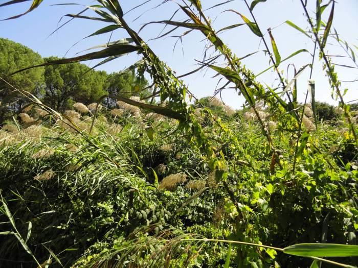 Rietpluimen en groene planten in natuurpark Doñana