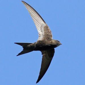 Martinet noir en vol (apus apus)