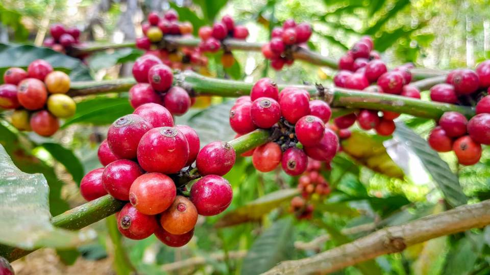Baies de café sur l'arbre