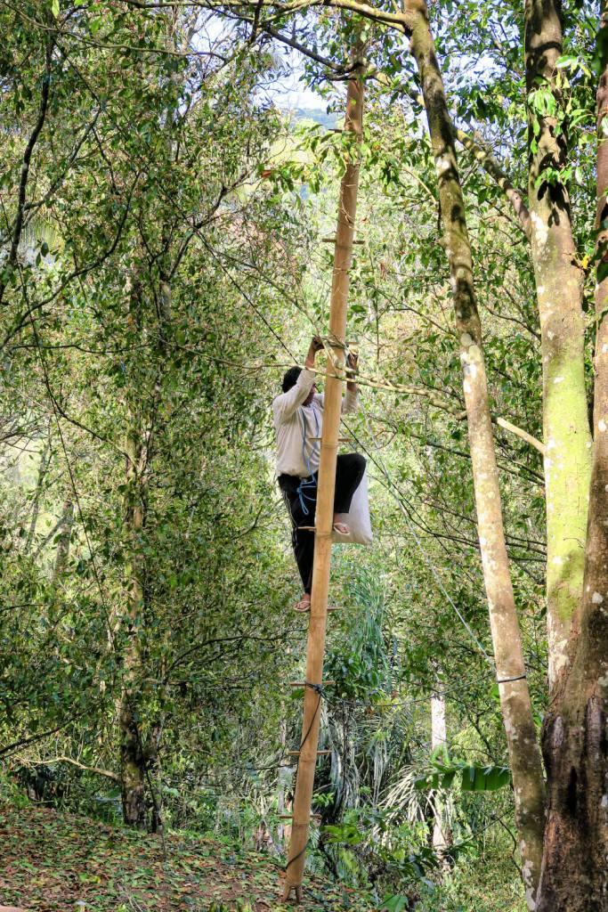 Villagois récoltant les fleurs de girofliers sur une échelle de bambou