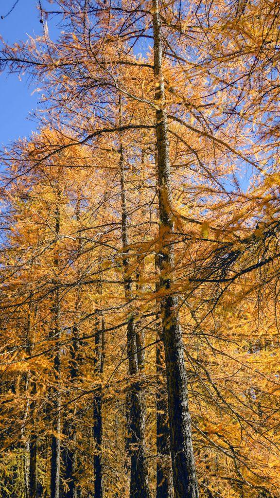 Mélèzes flamboyants à l'automne, forêt de Haute-Ubaye
