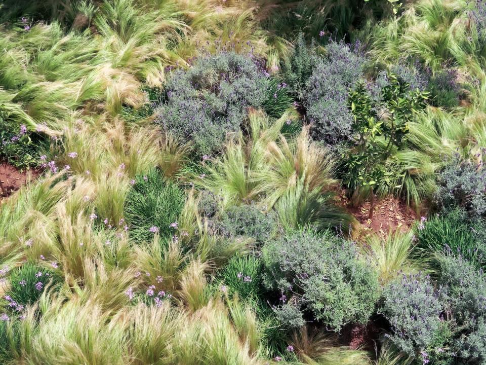 Parterre de lavandes et de graminées dans un jardin de Marrakech