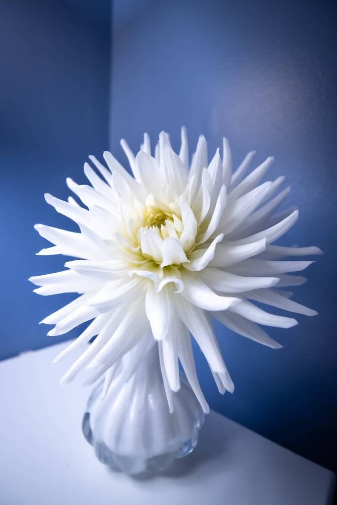 Fleur de dahlia blanc en pot sur fond bleu