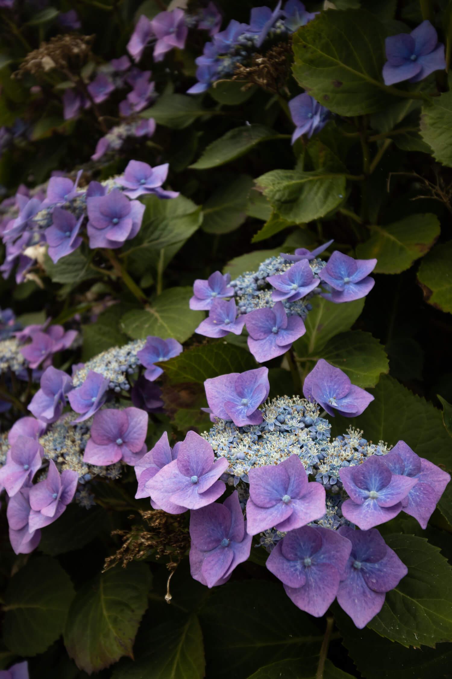 Hortensias bleus en fleurs à Huelgoat en Bretagne