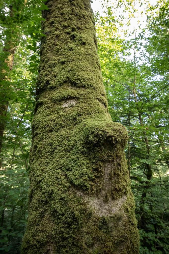 Arbre de la foret d'Huelgoat dont le tronc sculpte un visage