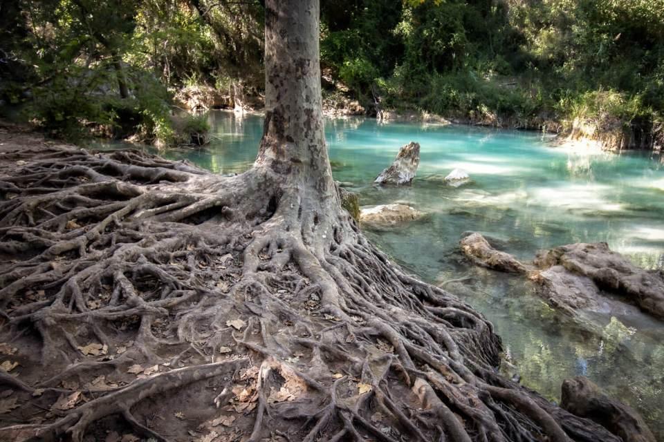 Racines aériennes d'un arbre au bord de la Besque, à la cascade de Sillans