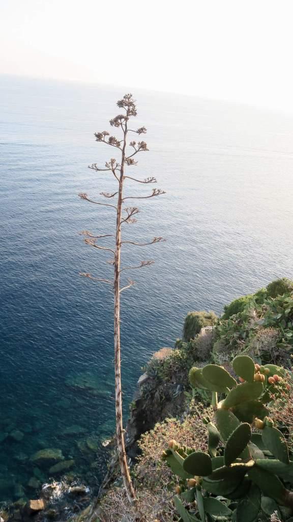 Agave et cactus à figues de baAgave et figuier de barbarie surplombant la mer, aux Cinque Terrerbarie surplombant la mer, aux Cinque Terre