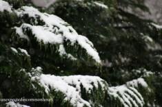 Leyland cypress in snow