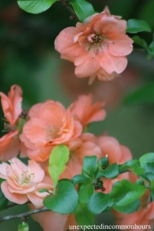 Peach-colored quince #1