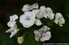 Dianthus #3
