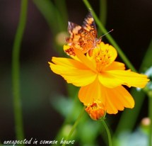 Butterfly on cosmos #3