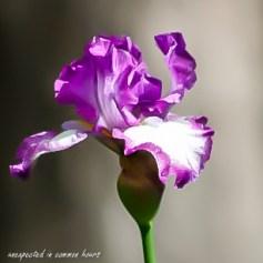 purple-iris-5