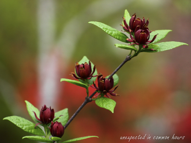 Sweet shrub 4