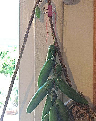 Monarch chrysalis hiding with serrano peppers