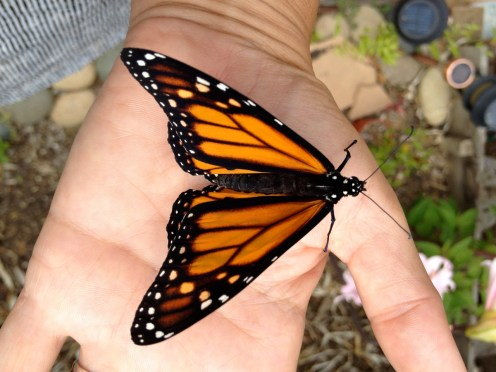 Beautiful recently hatched Monarch Butterfly San Diego