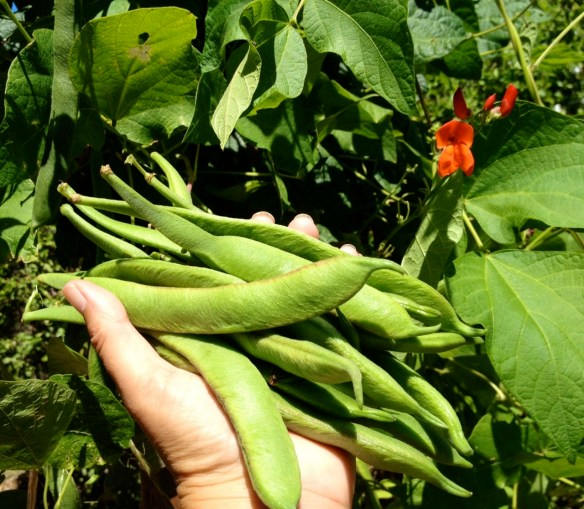 Scarlet Emperor Beans the perfect size for cooking and eating whole