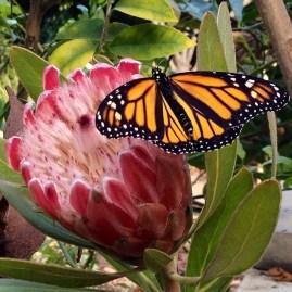 Monarch release San Diego 2014
