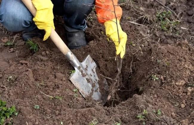 Impiantare un albero od un arbusto.