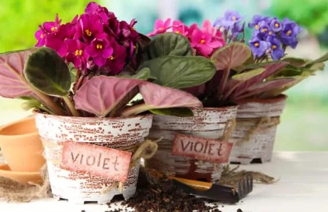 Violetta africana, tanti modi per moltiplicarla.