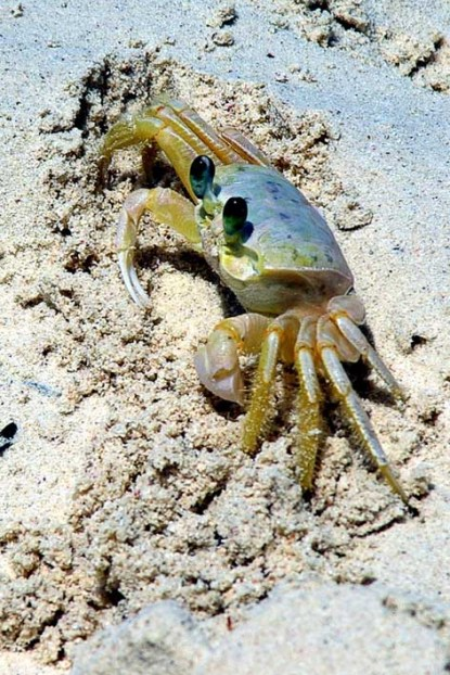 Crab walking in The Sand