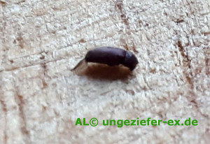 Der käfer kleine wand an braune Kleine Braune