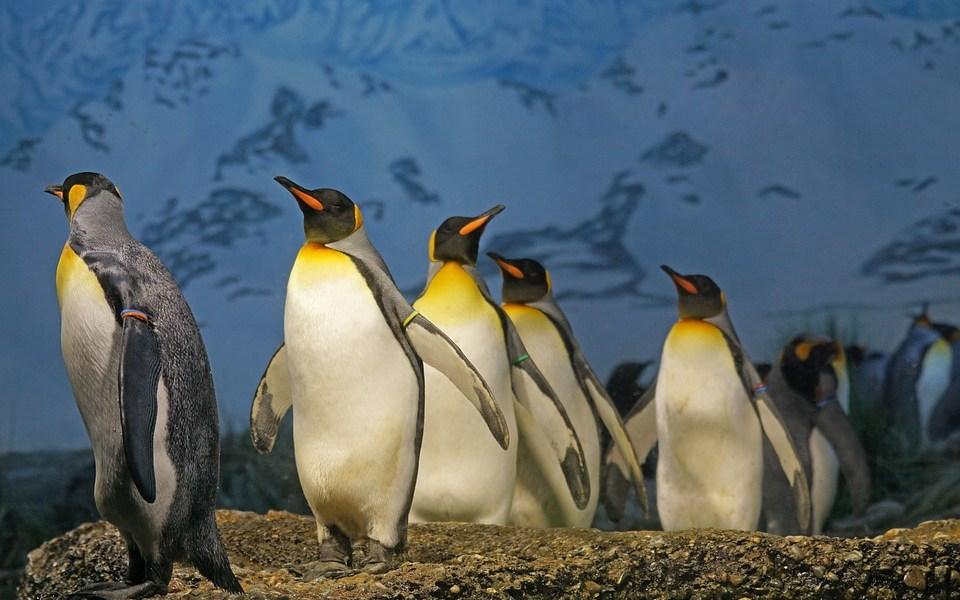 pinguine zu kalt